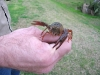 5. Live crawfish in Abbeville, Louisiana