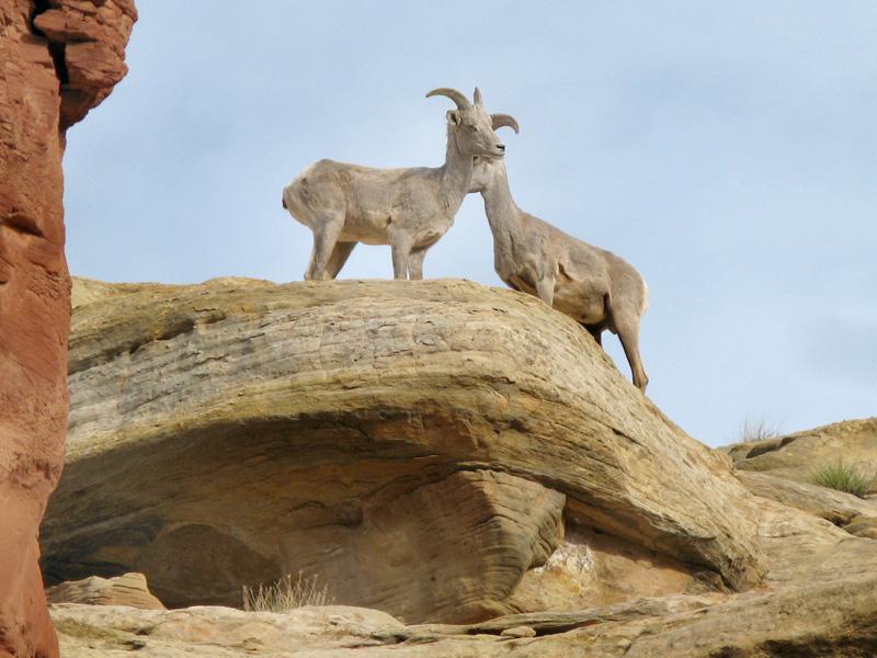 Bighorn Sheep Overlook Cohab Canyon