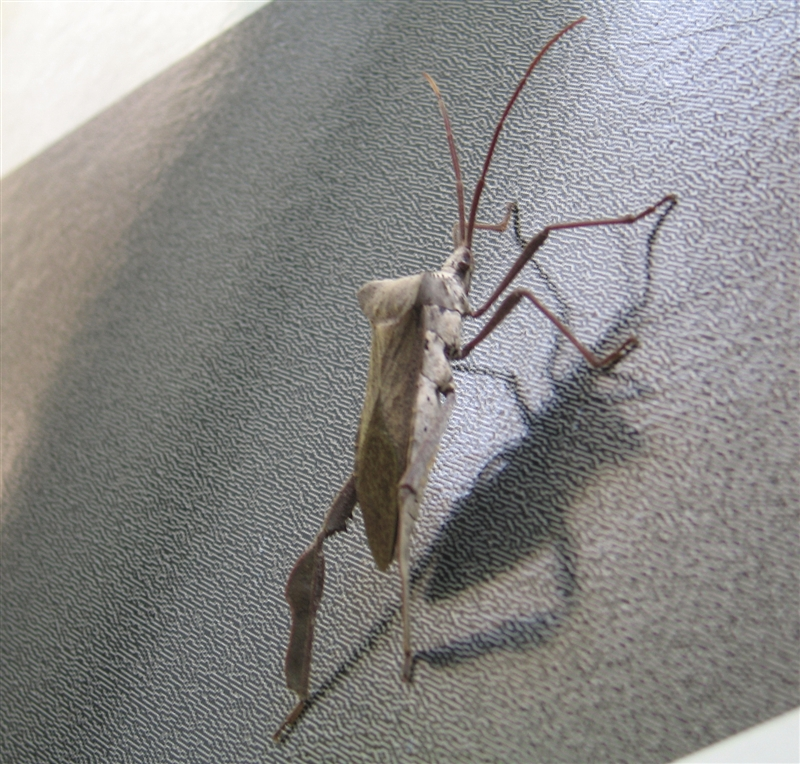 big skidaway bug