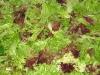 15. White Rabbit lettuce Wash ready for market