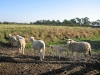 Sheep at White Rabbit Acres Organic Farm