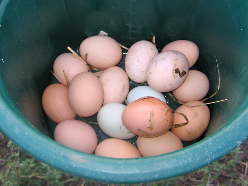 14. Collecting Hormone Free Eggs at White Rabbit Acres