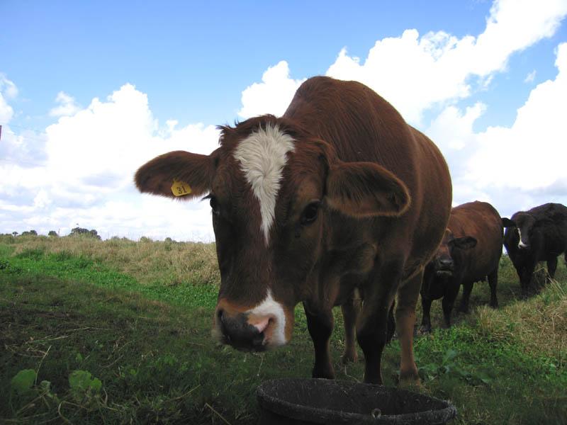 cows_07.jpg
