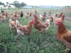 06. Organic Chickens at White Rabbit Acres