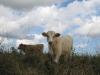 17. Cows on the range at White Rabbit Acres.