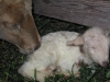 22. Lamb is born at White Rabbit Acres.