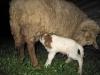 23. Lamb gets fed.