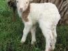25. Newborn lamby on the farm.
