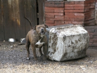 Chained Up Pit Bulls are Dangerous Dogs with Bad Owners