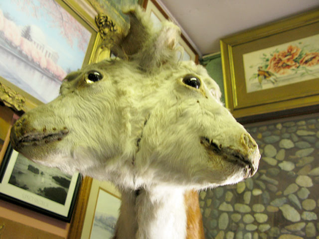 Two-headed goat, Genoa Wonder Tower, Colorado