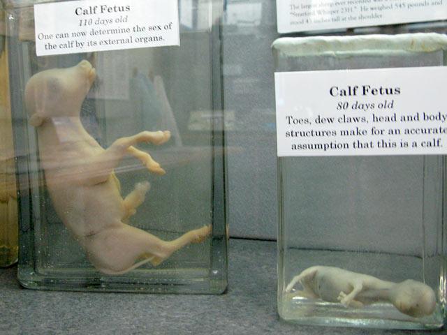Calf Fetus Growth Veterinary Museum Columbia, CO