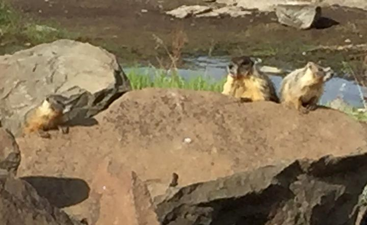 Quincy Lakes Marmot Family