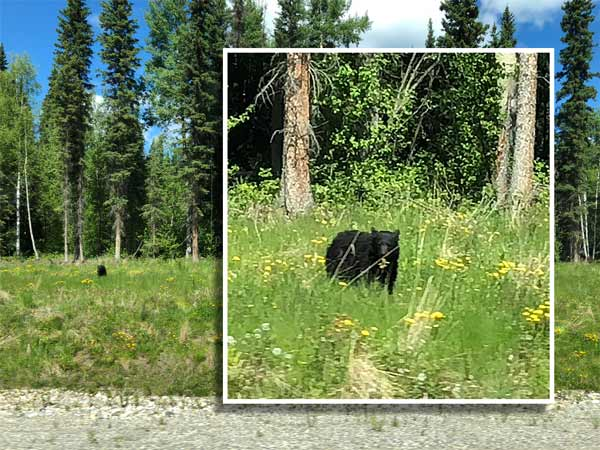 animals on the alaska highway