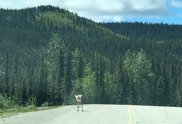 Caribou on Alcan Highway