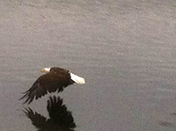 Crystal Lakes Bald Eagle