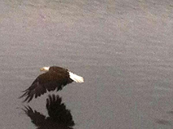 Crystal Lakes Bald Eagle