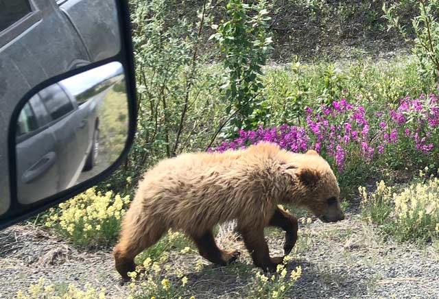 best wildlife pics on the Alaska Highway