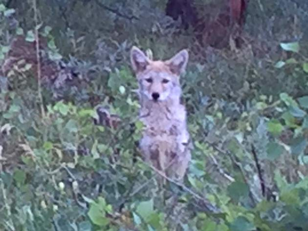 Crystal Lakes Coyote Pups