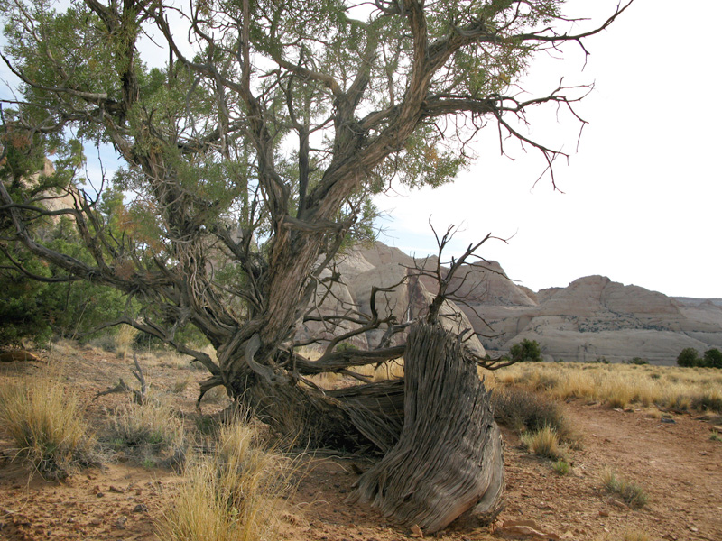 Old Tree in Cohab Canyon of Capitol Reef National Park