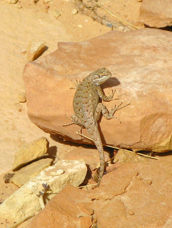 Cohab Canyon Lizard in Capitol Reef National Park