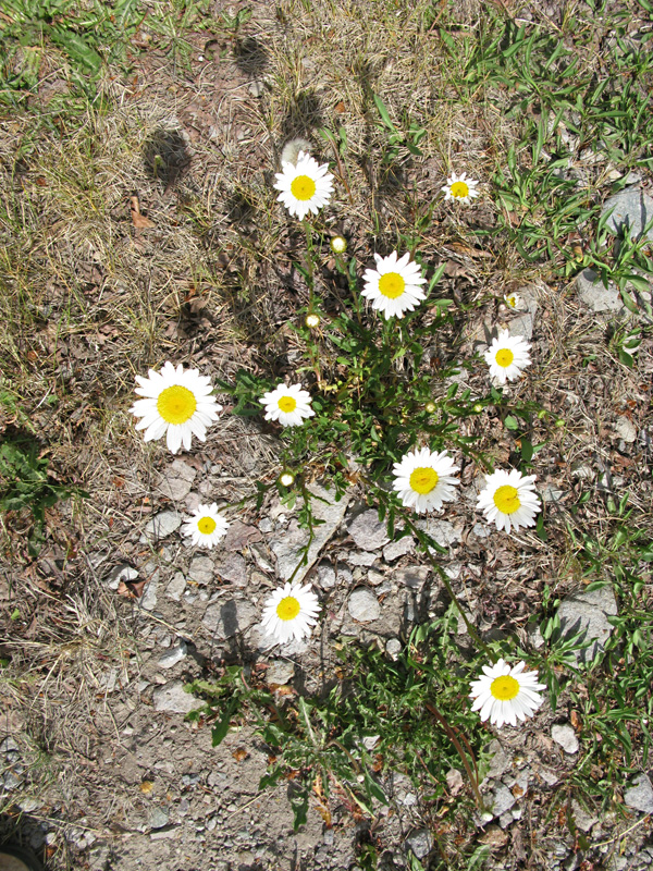 Summer Daisies in historic downtown Lake City, CO