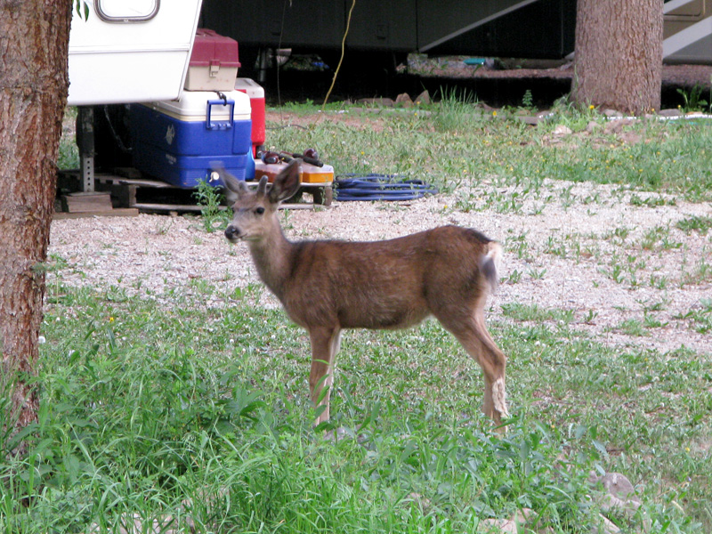 Deer with attitude terrorizes Vickers workamping sites