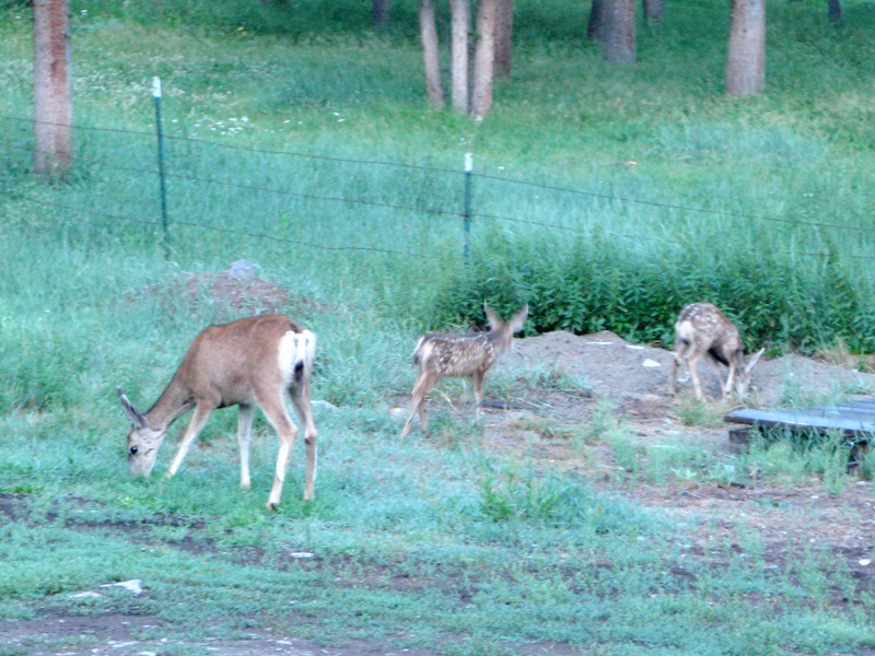 Deer with fawns at Vickers Ranch workamping RV sites