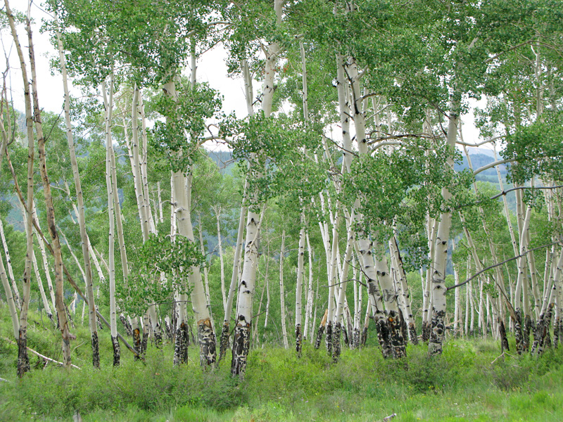 Aspen Forest Lake City Colorado