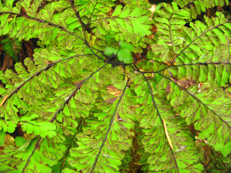 Clearwater National Forest Idaho Ferns