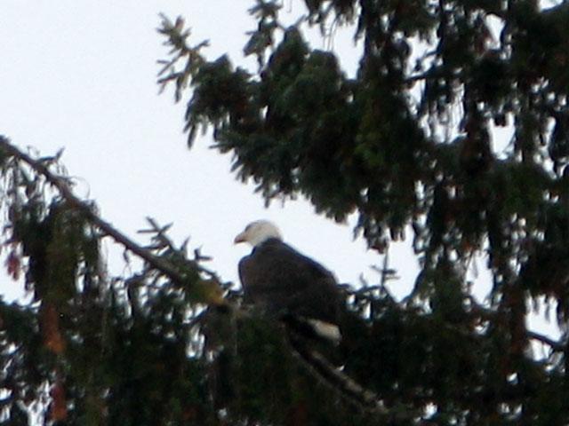 Bald eagle Olympic Peninsula Washington