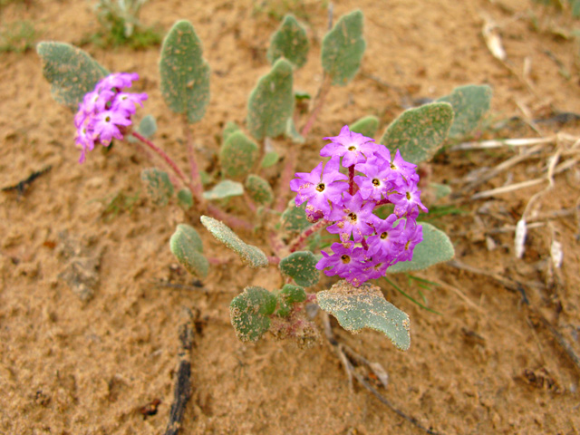 Desert Flower of Slab City near Niland, CA