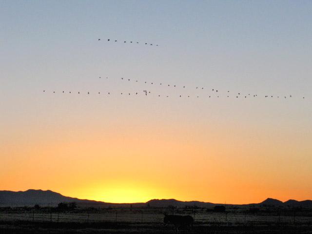 cranes in flight over Arizona ranch sunrise