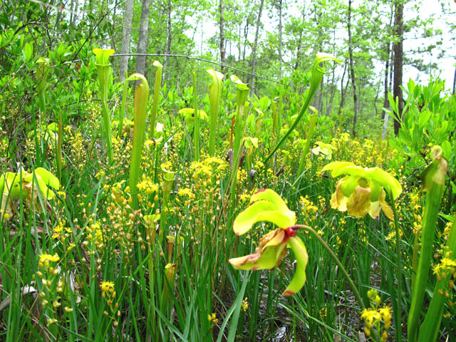 Pitcher plants blooming in The Big Thicket