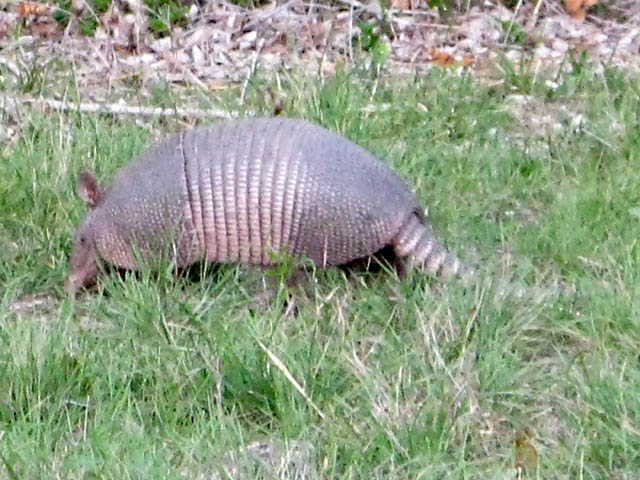 Armadillo in field at Luckenbach, TX