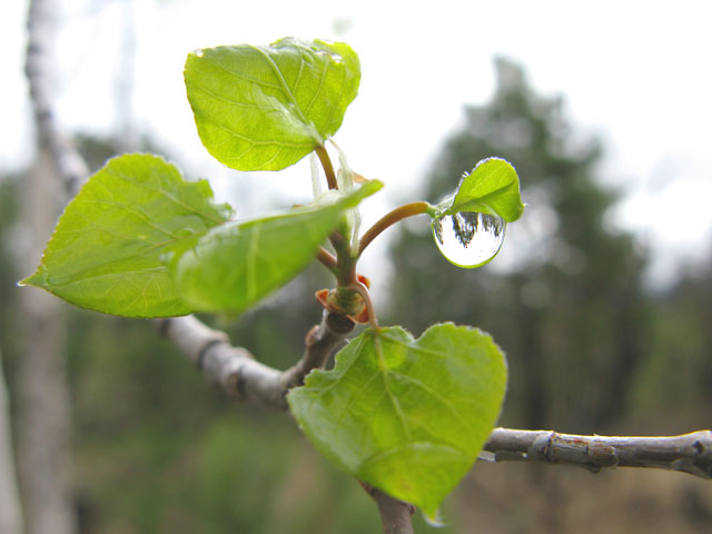 pike national forest aspen raindrop