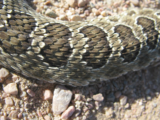 Colorado Rattlesnake Skin Detail