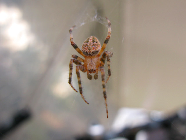Rocky Mountain Colorado Spider