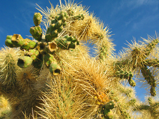 Why, AZ Desert Cacti near Organ Pipe Natl. Monument