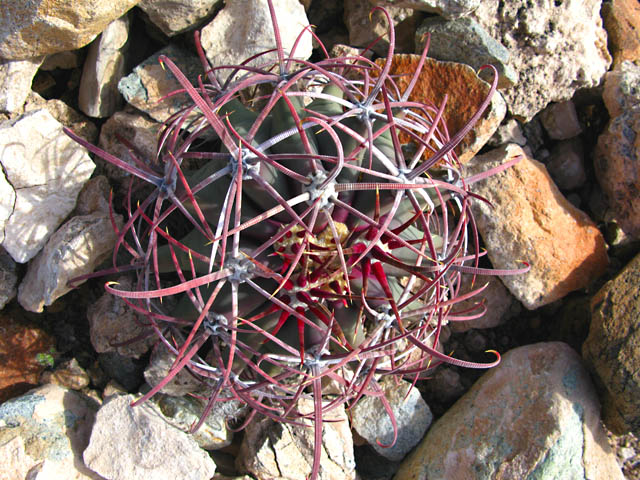 Fish Hook Cactus in Organ Pipe National Monument