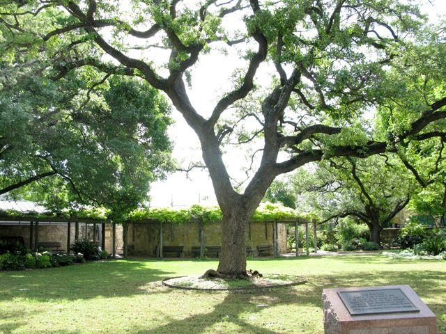 Old Oak Tree at the Alamo