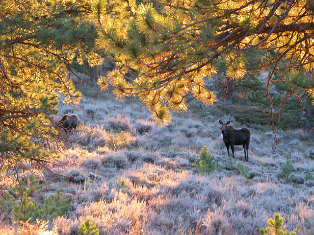 Crystal Lakes Colorado Moose Cow and Calf