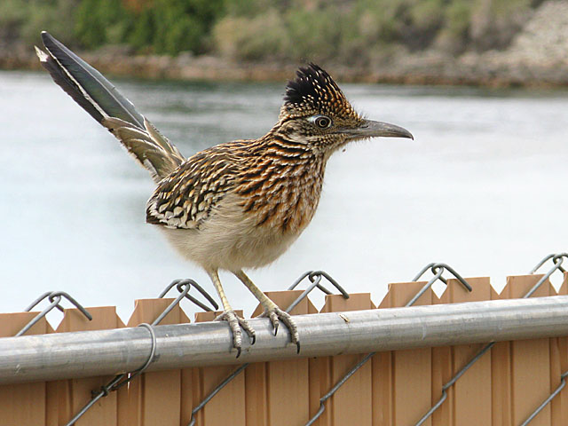 Bullhead City Arizona Roadrunner