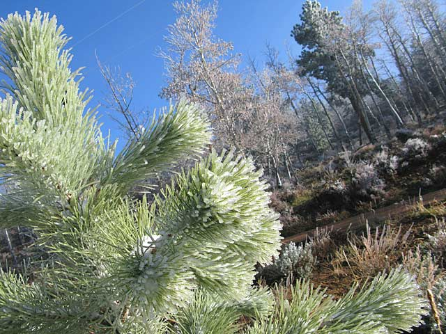 Red Feather Lakes Freezing Fog Coats Pines with Ice