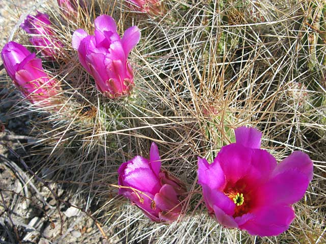 Big Bend Ranch Texas State Park Cactus Blooms