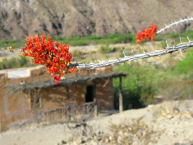 Ocotillo Blooms Over Contrabado Movie Set