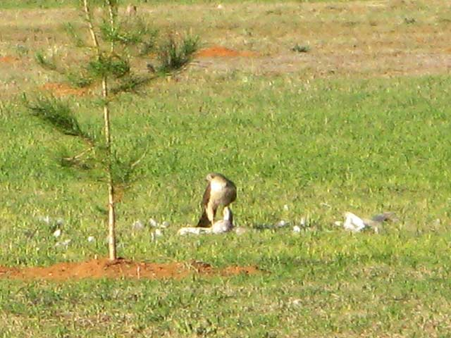 Hawk Kills Dove in Texas Wild Kingdom