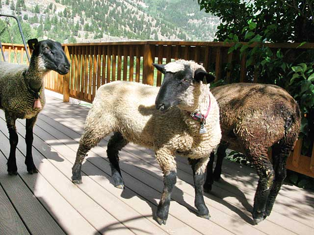 Vickers Ranch Sheep