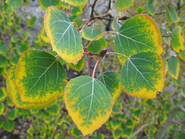 Henson Creek Lake City Colorado Aspen Leaves