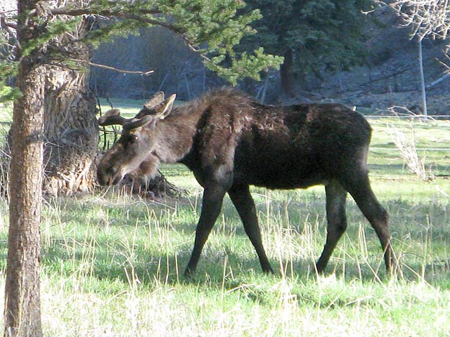 Bull Moose at Vickers Ranch Lake City, CO