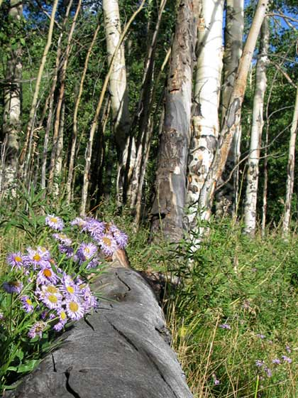 Vickers Lake Wildflowers and Aspen